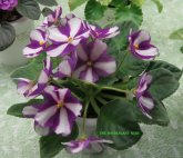 African violet 'Sister Sylvia' which is a chimera